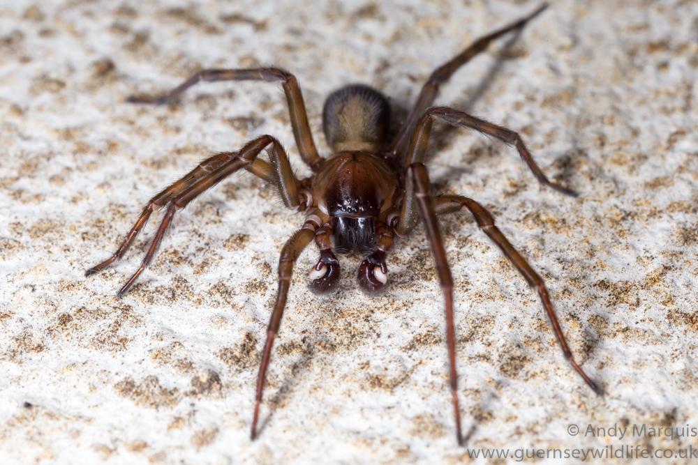 Amaurobius ferox - Black Lace web weaver 7443