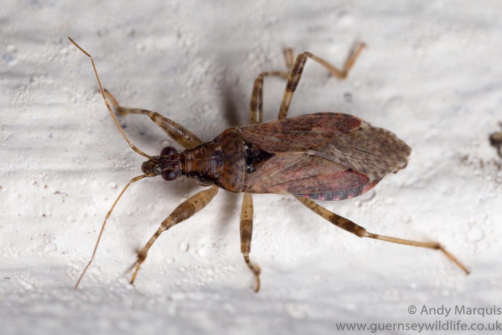 Ant Damsel Bug - Himacerus mirmicoides - 7453