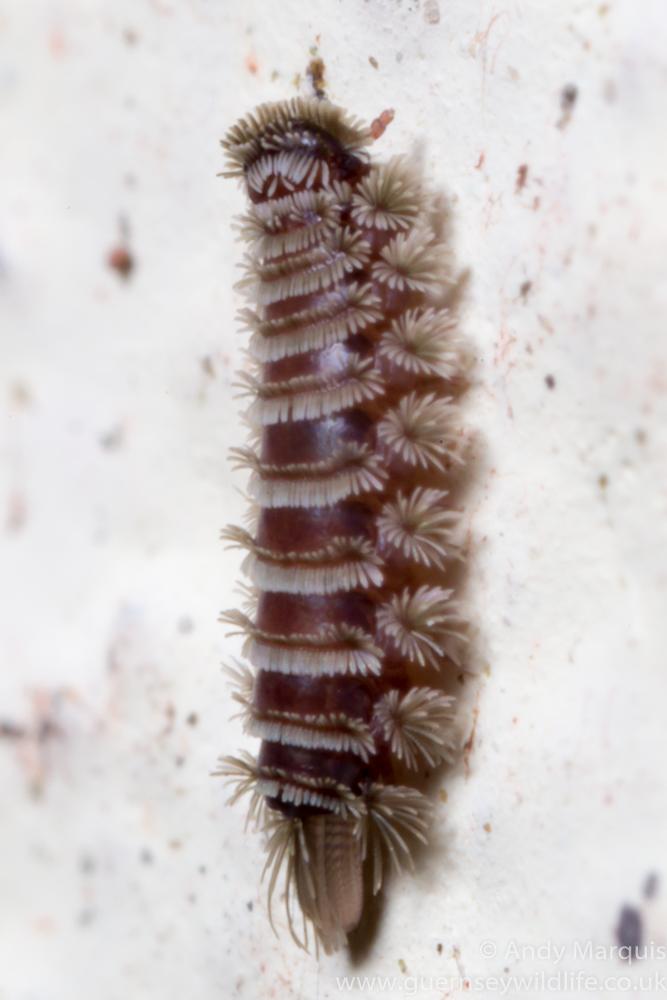 Polyxenus lagurus (Bristly Millipede) 7503