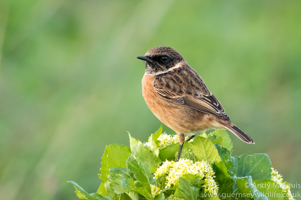 Male Stonechat 7530