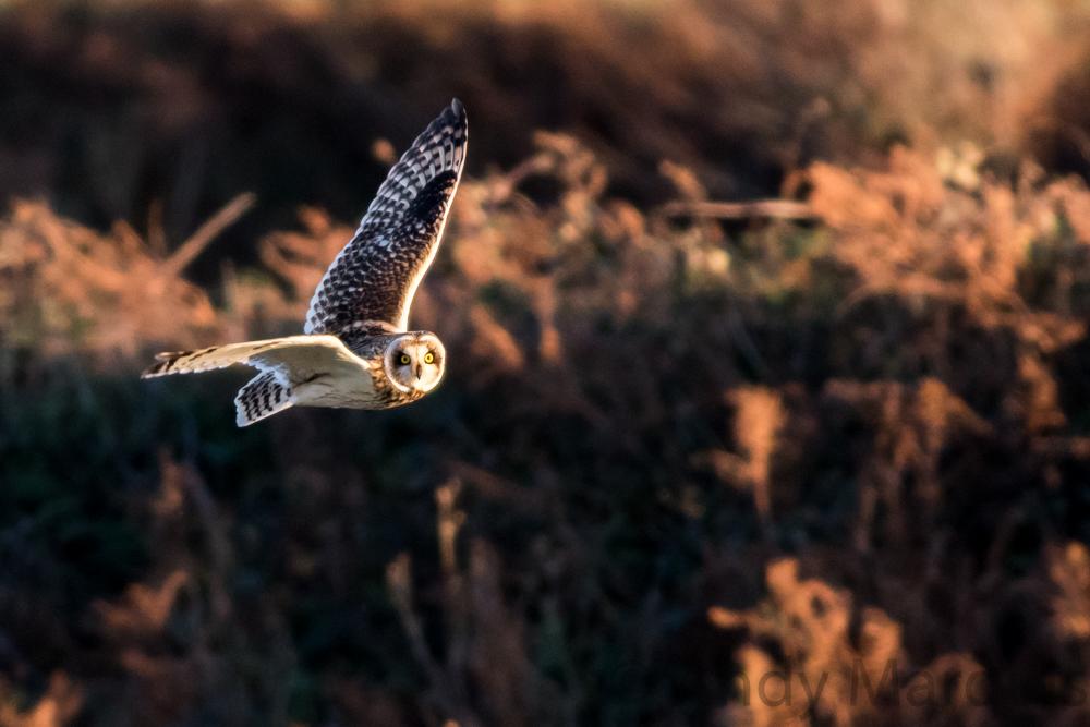 Short-Eared Owl 7631