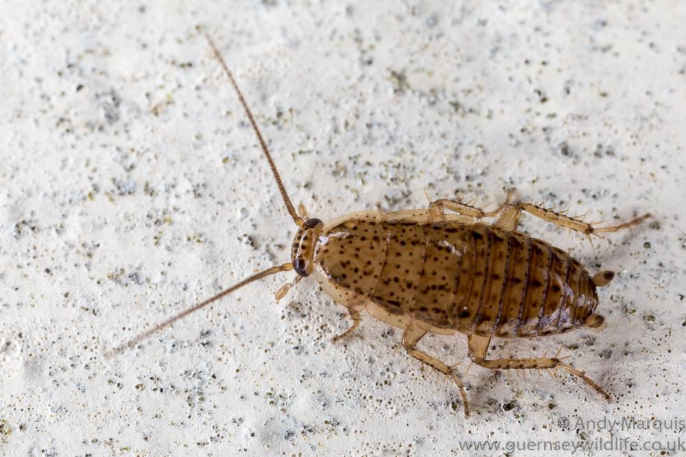 Tawny Cockroach 7633