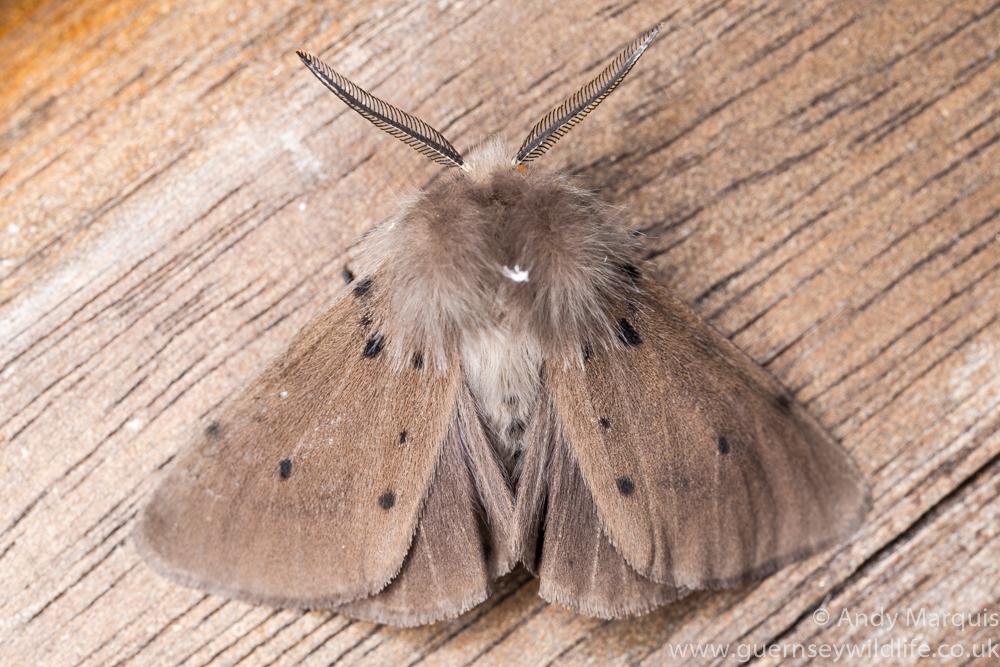 Male Muslin moth 7670