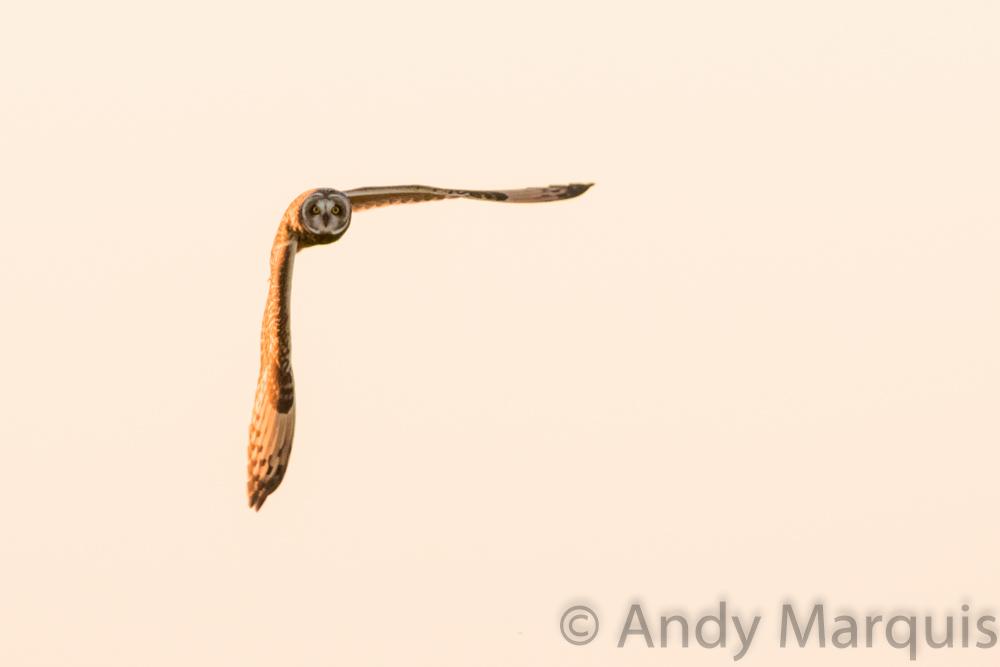 Short-Eared Owl 7808