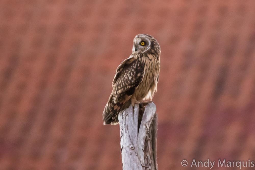 Short-eared owl 7825
