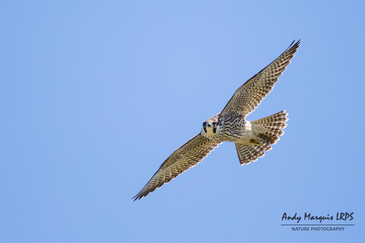 Peregrine Falcon 7935