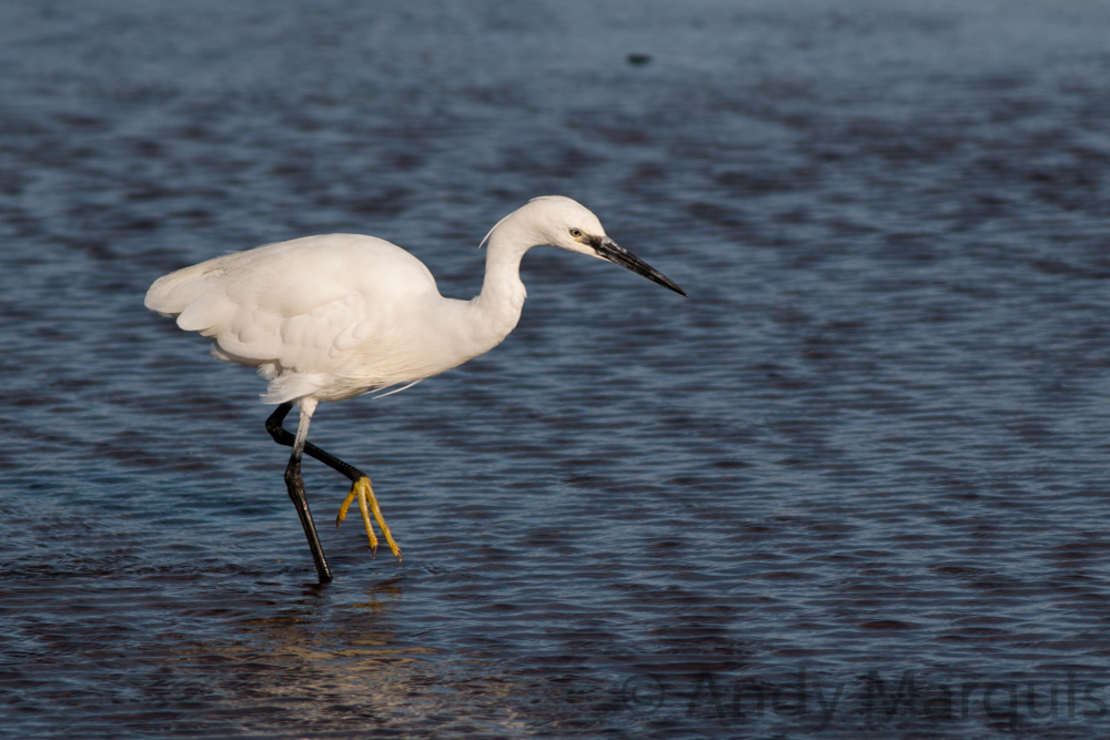 Little Egret 8031