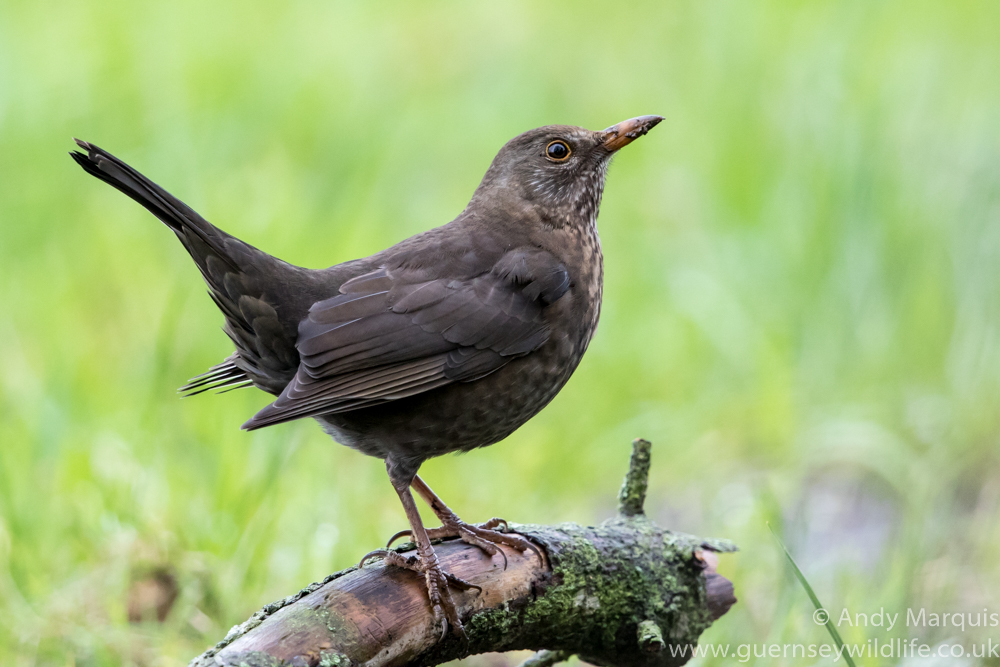 Female Blackbird 8175