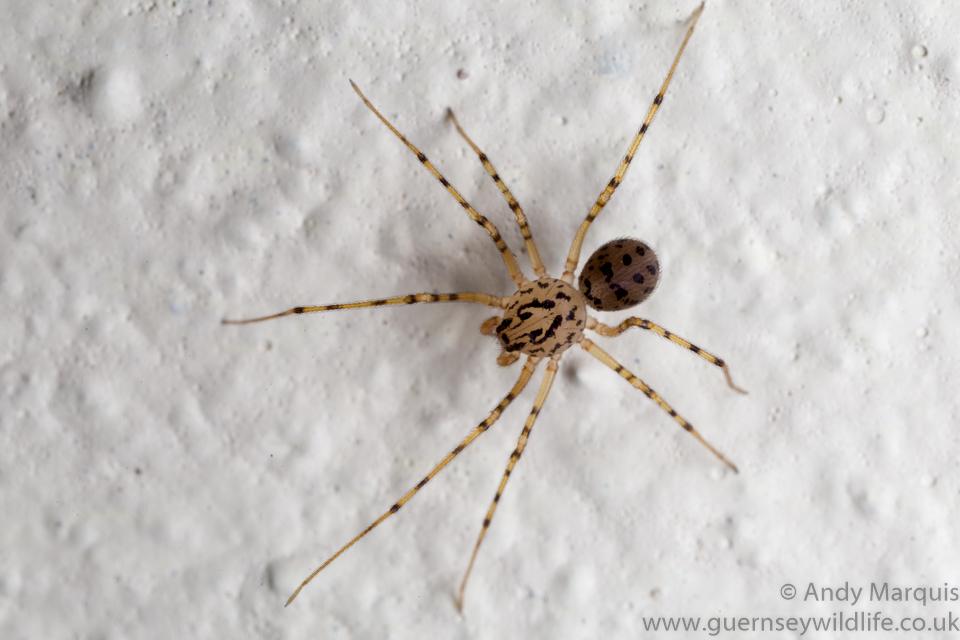 Scytodes thoracica - Spitting Spider 8354