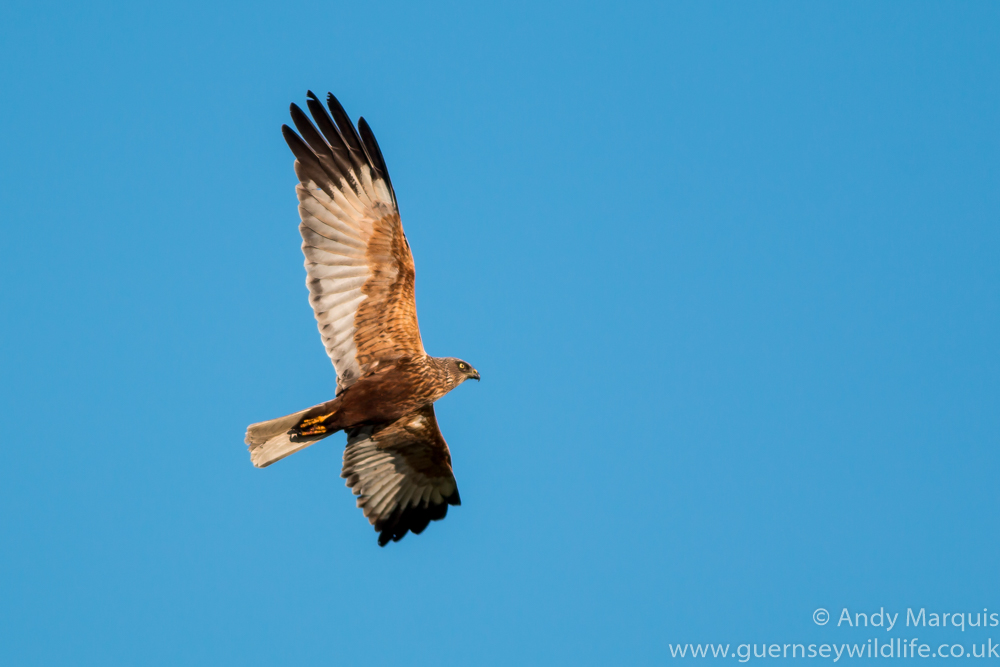 Marsh Harrier 8481