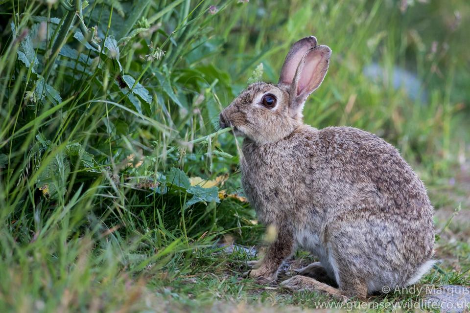 Rabbit 8521