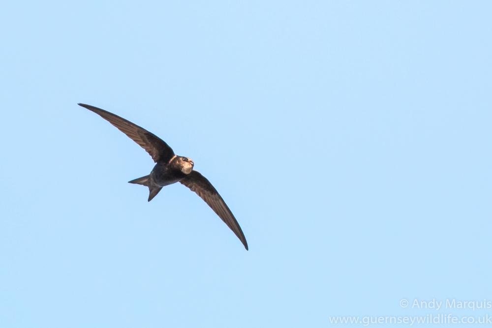 Swift 8536