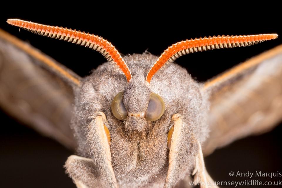 Poplar Hawk-moth 8540