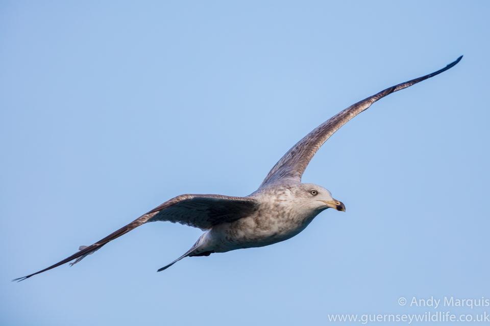 Herring Gull 8557
