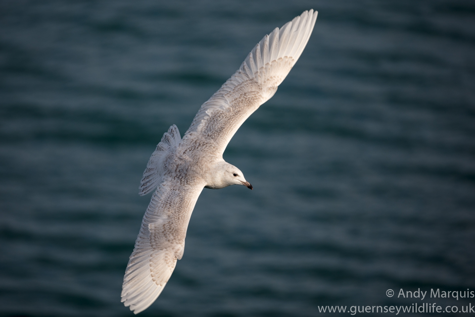 Iceland Gull 8679