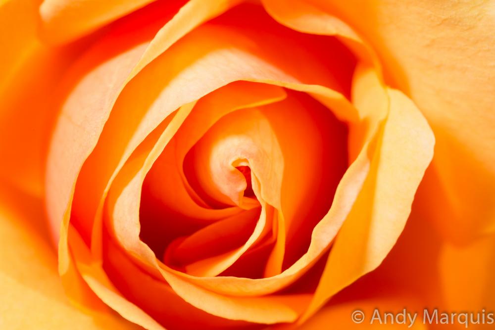 Rose 8843