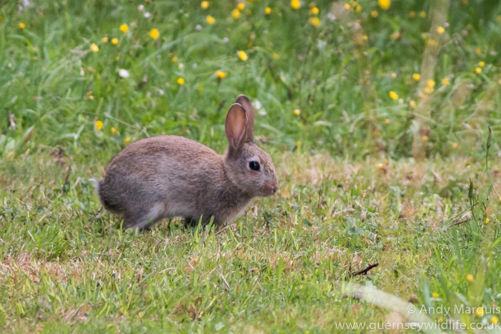 Rabbit 8899