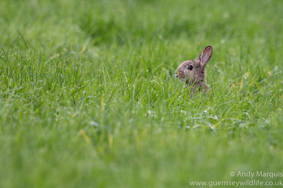 Rabbit 8593