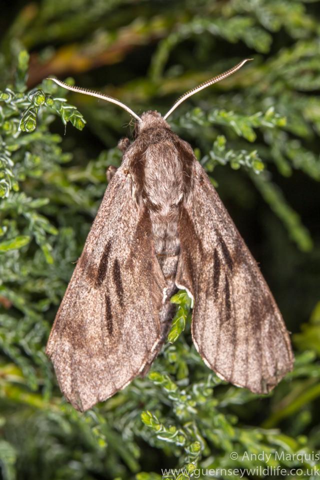 Pine Hawk-moth 9749