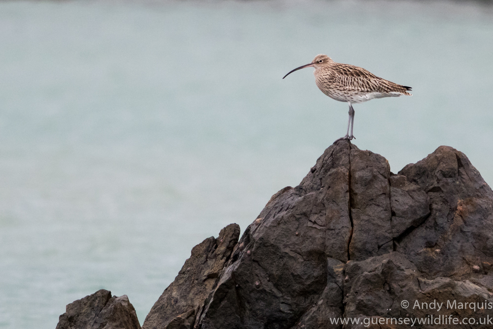 Curlew 9794