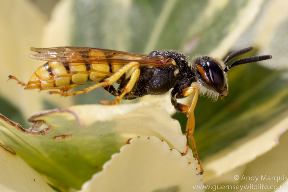 Philanthus triangulum - Bee Wolf 9891