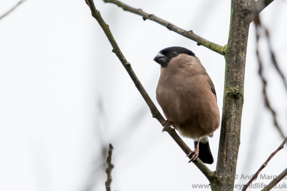 Female Bullfinch 9965