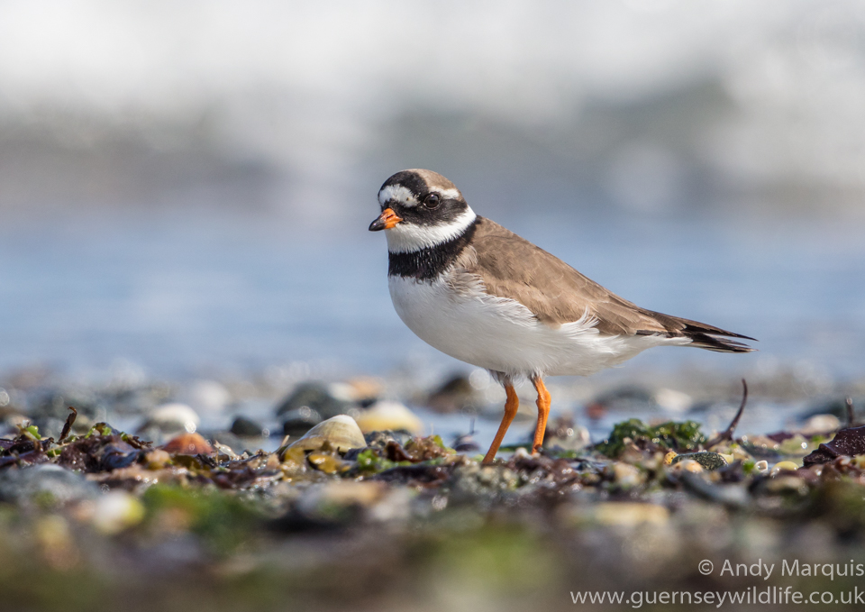 Ringed Plover 9988