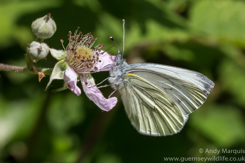 Green Veined White 8723