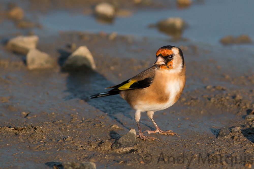 Goldfinch 9924
