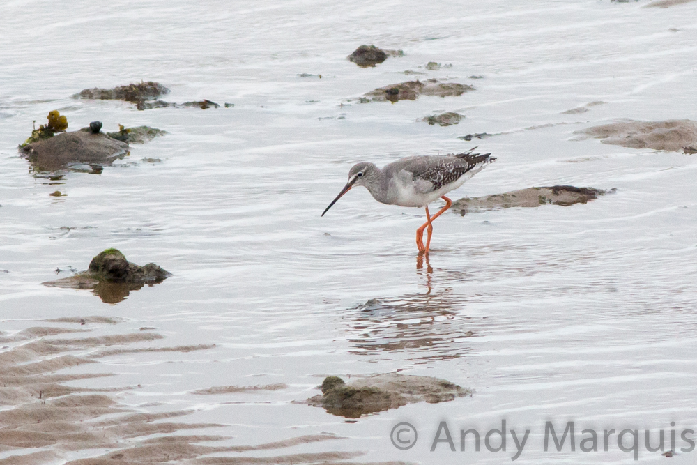 Spotted Redshank 0102