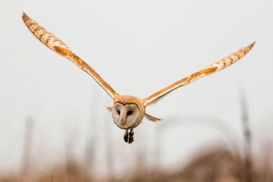 Barn Owl 1746