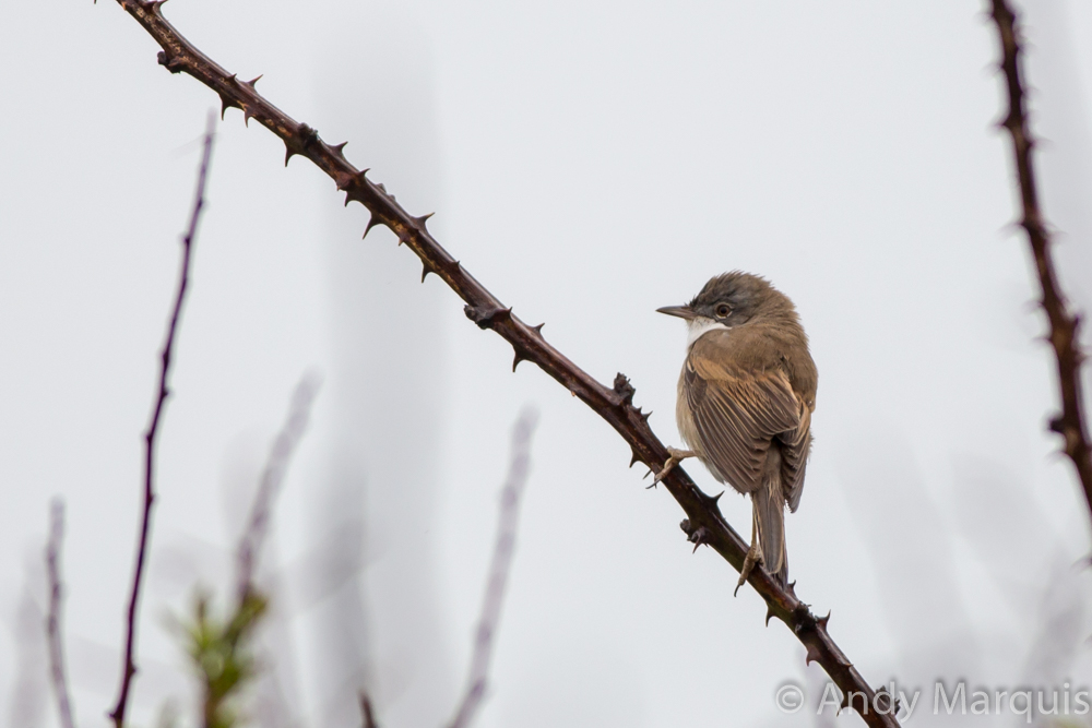 White Throat 7244
