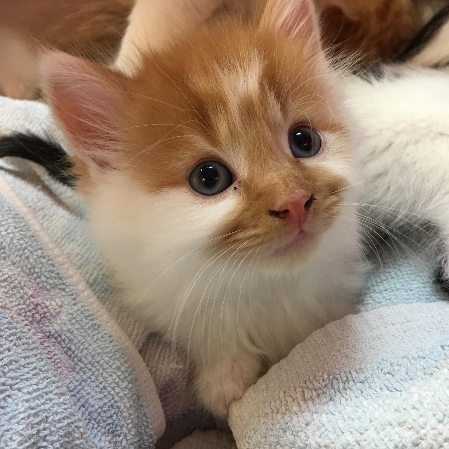 Kitten Club BRONZE