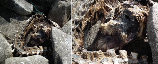 Whale or dolphin skeleton on rocks, close-up on right