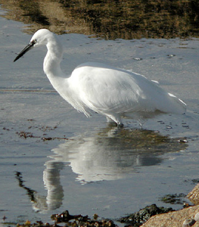 Little egret wading along shoreline