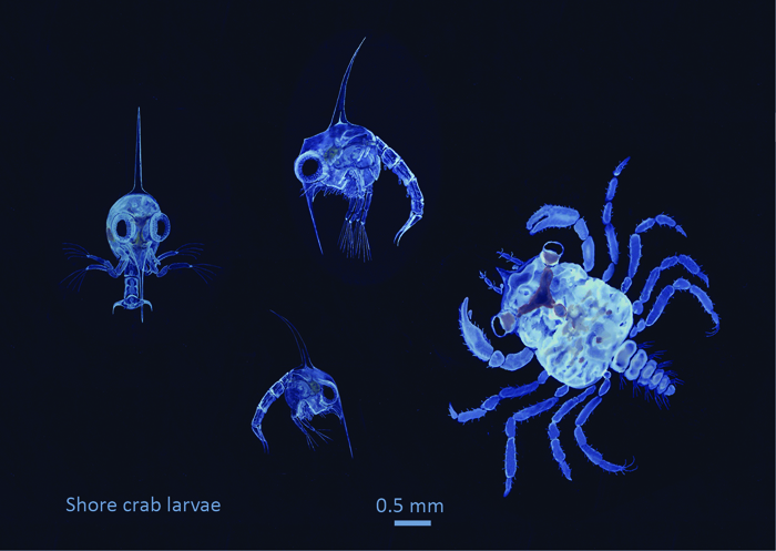Watercolour image of shore crab larvae; three zoea stages and a megalopa