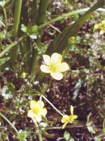Flower and distinctive seedpods of endemic buttercup.