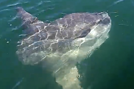 Sunfish swimming at  the surface, photographed from above.