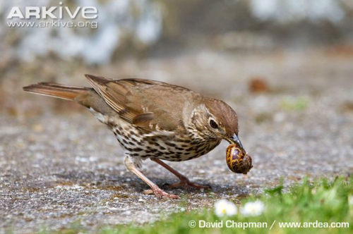 song thrush holding a snail by the lip of the shel