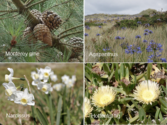 Plants introduced by the Smith family: monterey pine, agapanthus, narcissus, hottentot fi