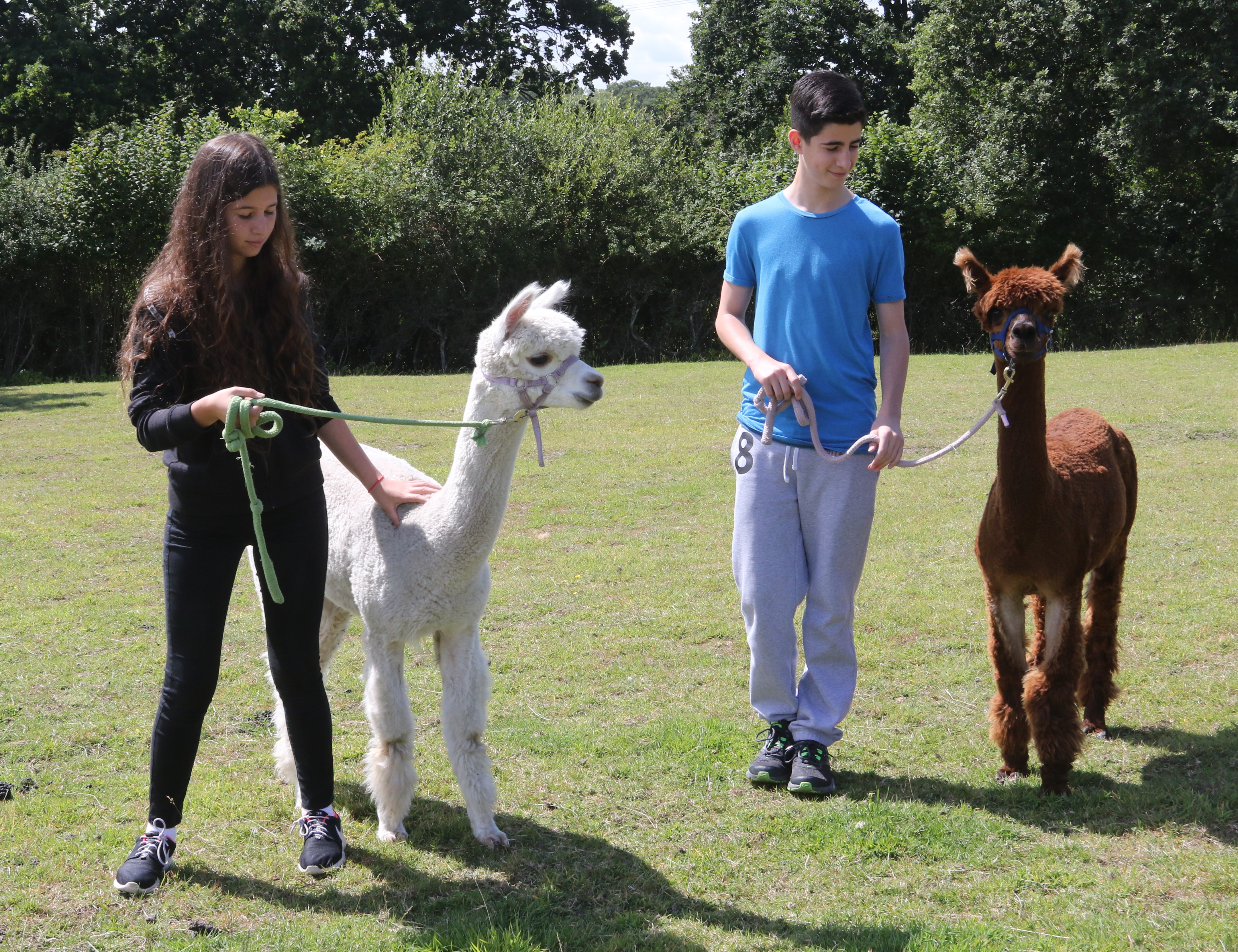 Alpaca Walking Experience