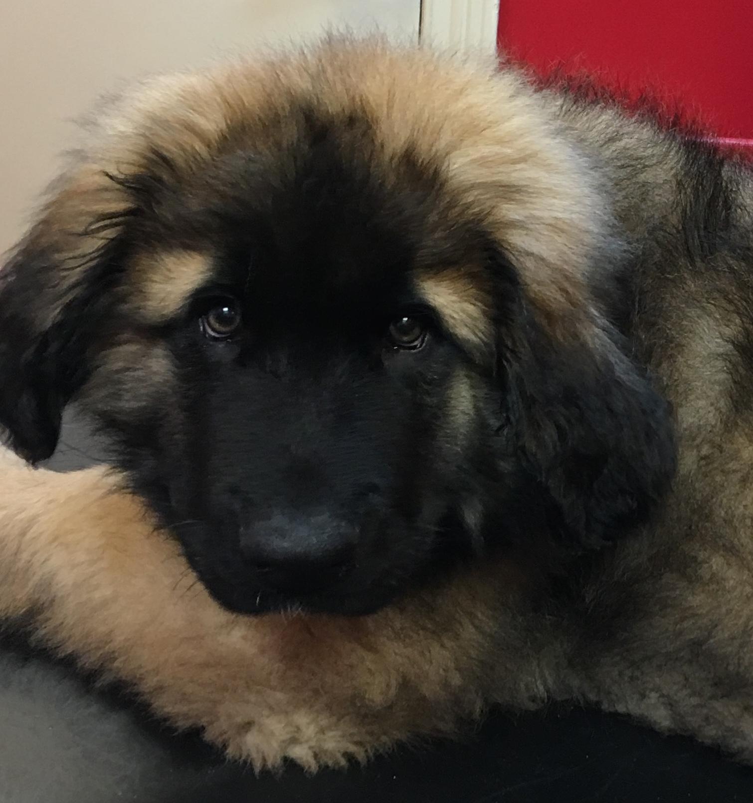 Puppy Club SILVER MAXI