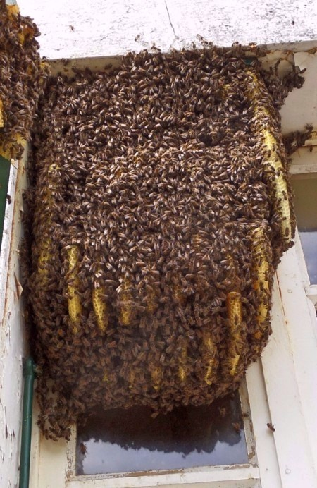 Bee-swarm-in-a-window-France