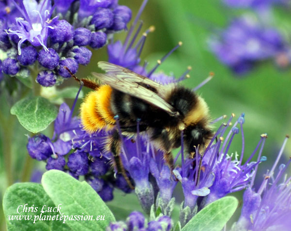 Male-red-tailed-bumble-bee-France