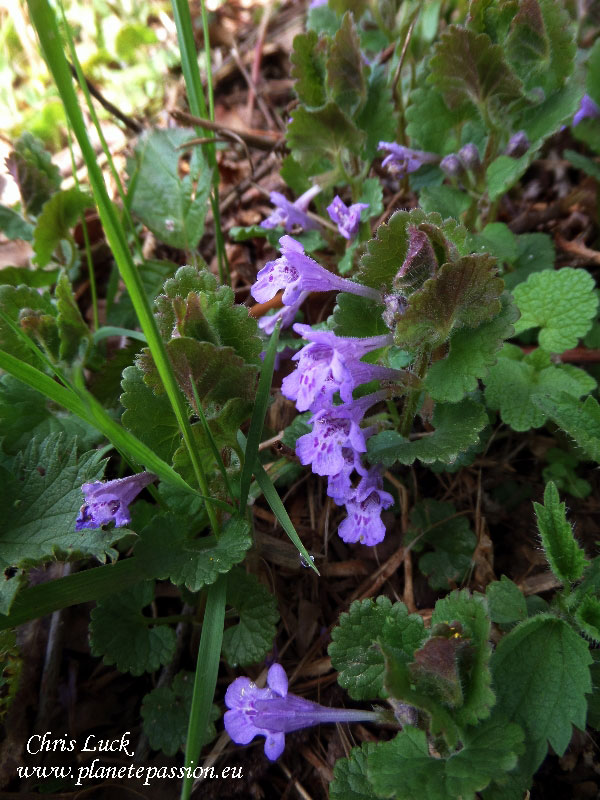 Ground-Ivy-Glechoma-hederacea-for-bees-in-France