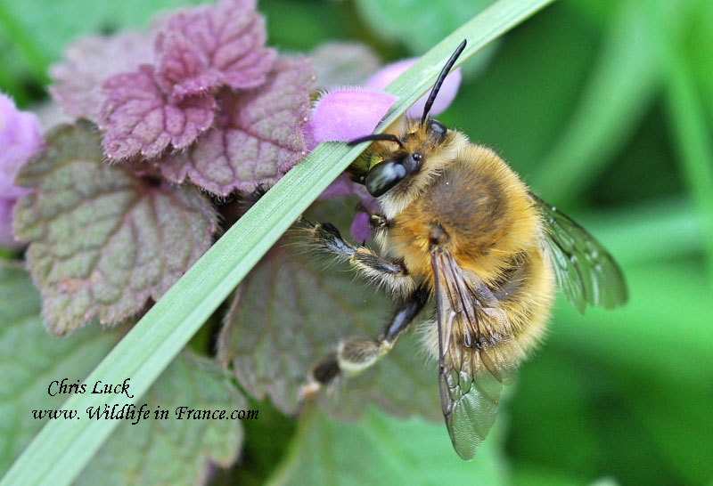 Anthophora-plumipes-France.