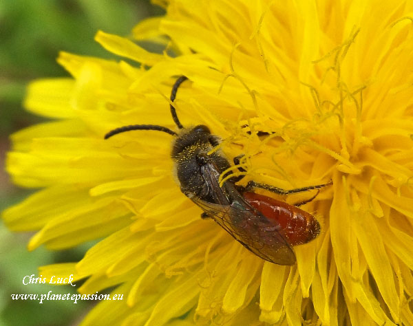 Cuckoo-bee-Sphecodes-sp-solitary-bee-France