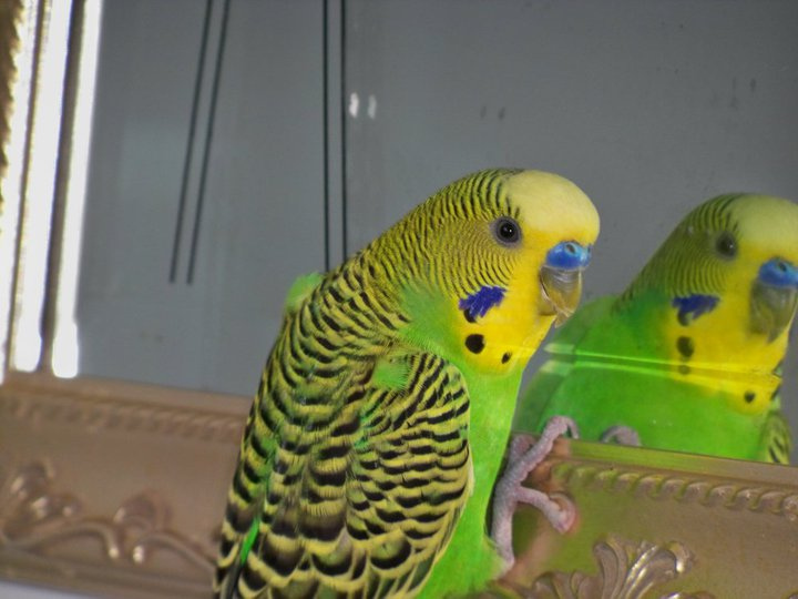 Green and yellow budgie looking in a mirror
