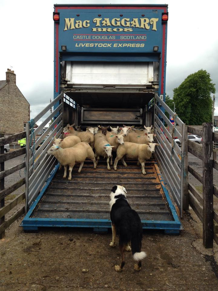 A collie herding lambs onto a MacTaggart livestock lorry