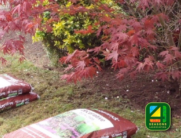 Japanese acers being planted using best quality soil